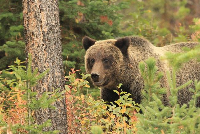 """Grizzly Bear."" Bridger-Teton National Forest. Flicker Creative Commons, no known copyright"